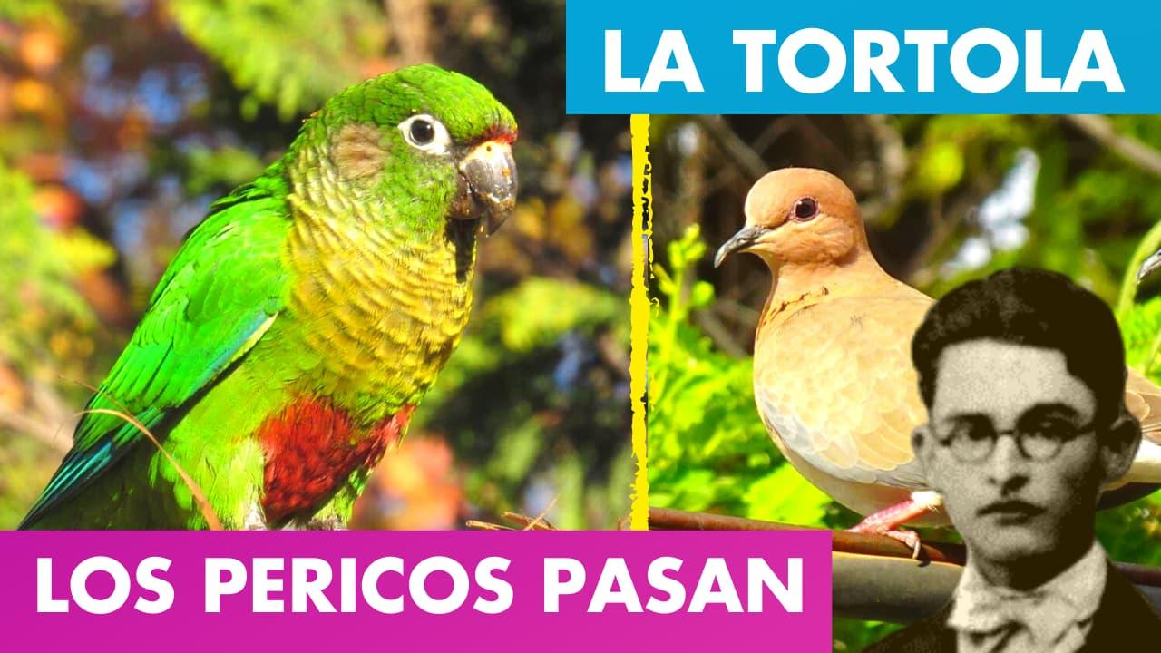 En este momento estás viendo Los Pericos Pasan – La Tórtola Alfredo Espino